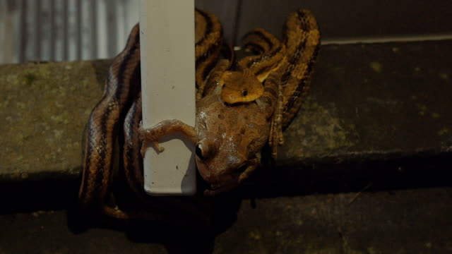 Leopard Frog Tries to Escape the Jaws of a Rat Snake video