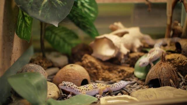 Leopard Gecko in terrarium (Eublepharis macularius)