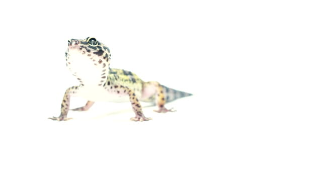 Leopard Gecko on white background Lizard leopard gecko pet in home isolated. gecko stock videos & royalty-free footage