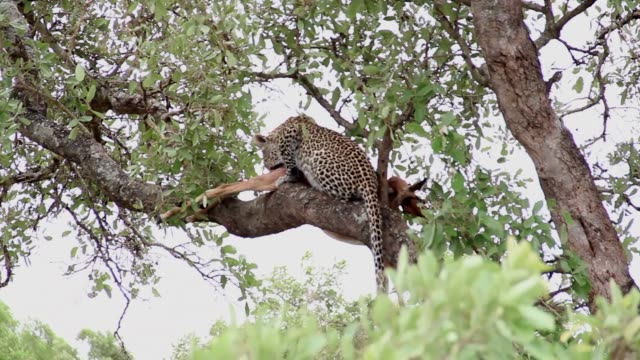 Leopard having lunch on a tree branch with impala prey video