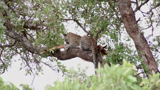 leopard med lunch på en trädgren med impala byte - leopard bildbanksvideor och videomaterial från bakom kulisserna
