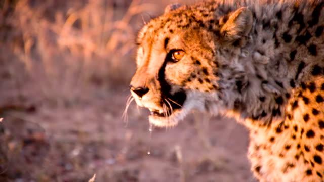 slo mo cu leopard in the savannah - djurhuvud bildbanksvideor och videomaterial från bakom kulisserna
