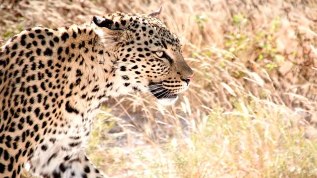 slow mo cu leopard in the savannah - leopard bildbanksvideor och videomaterial från bakom kulisserna