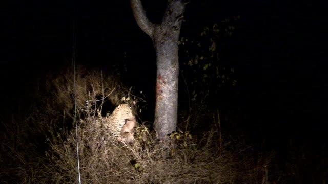 leopard jump in tree - leopard bildbanksvideor och videomaterial från bakom kulisserna