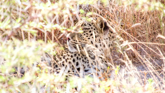 ls leopard laying in the grass - single pampas grass bildbanksvideor och videomaterial från bakom kulisserna