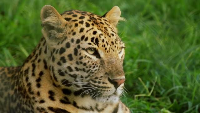 leopard looking around - leopard bildbanksvideor och videomaterial från bakom kulisserna