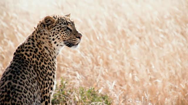 slow mo ms leopard looking around - leopard bildbanksvideor och videomaterial från bakom kulisserna