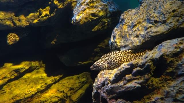 leopar moray yılan balığı veya ejderha moray ağız açar ve kaya yarık saklanıyor - örtmek stok videoları ve detay görüntü çekimi