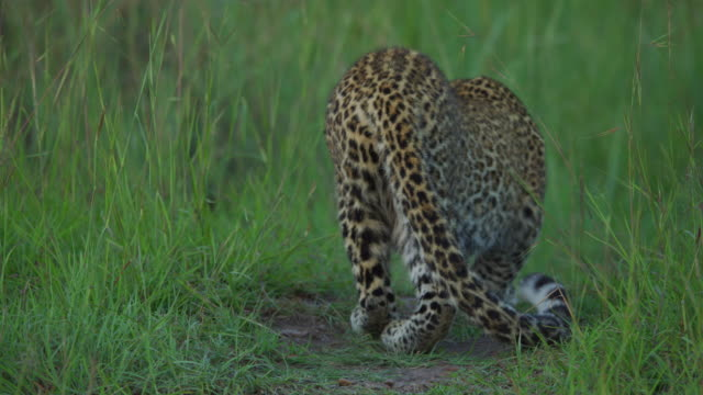 Leopard moving slowly in the grass