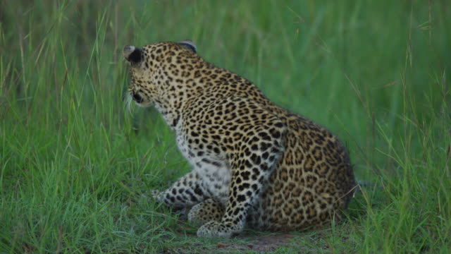 Leopard moving slowly