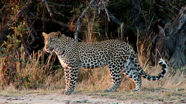 leopard on the move - leopard bildbanksvideor och videomaterial från bakom kulisserna