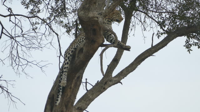 Leopard on the tree video