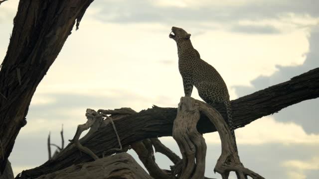 leopard på trädgren i samburu nationalpark, kenya - leopard bildbanksvideor och videomaterial från bakom kulisserna