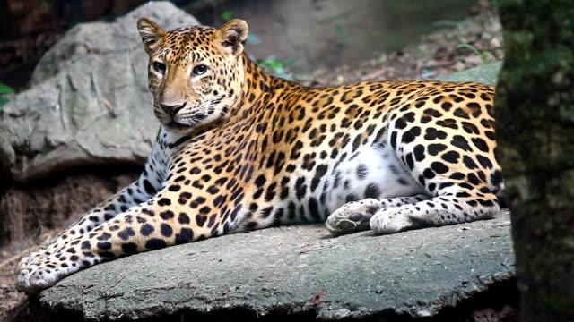 vídeos de stock e filmes b-roll de leopard, panthera pardus kotiya, big spotted cat lying on the tree in the nature habitat - sri lanka