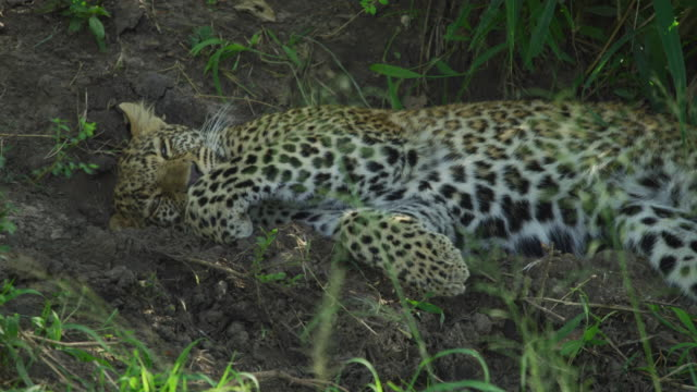 Leopard resting and cleaning its paw