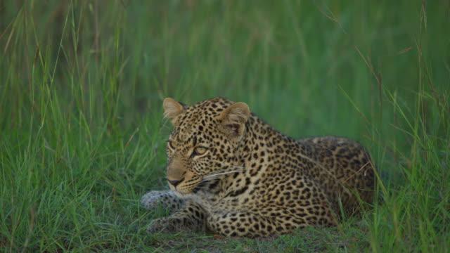 Leopard resting in green grass