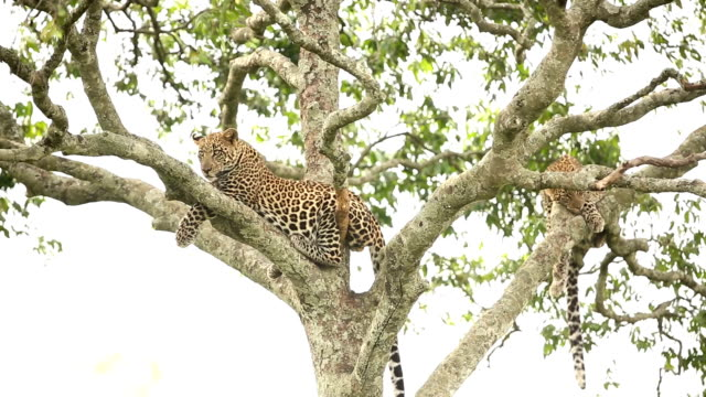 Leopard resting on tree with cub video
