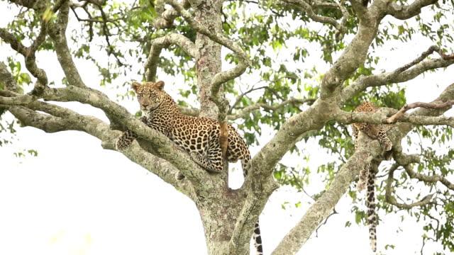 vídeos de stock, filmes e b-roll de leopardo descansando na árvore com filhote - felino