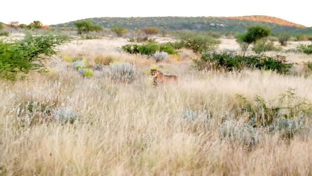 slo mo ls leopard running to the camera - leopard bildbanksvideor och videomaterial från bakom kulisserna