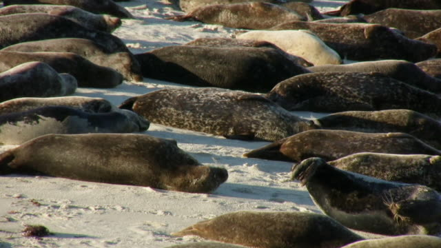 Leopard Seal Colony Pan Right (HD) video