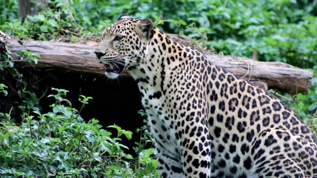 leopard side view video