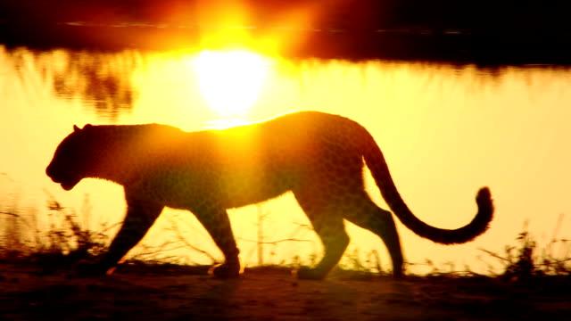 leopard silhouette - leopard bildbanksvideor och videomaterial från bakom kulisserna