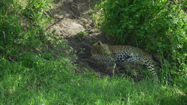 Leopard sleeping in the shade