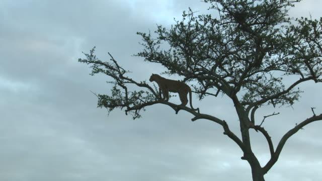 leopard (panthera pardus) stående på en gren i träd - leopard bildbanksvideor och videomaterial från bakom kulisserna