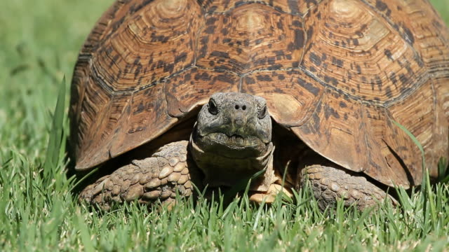 Leopard tortoise Close-up view of a leopard tortoise (Stigmochelys pardalis) on green grass, South Africa tortoise shell stock videos & royalty-free footage
