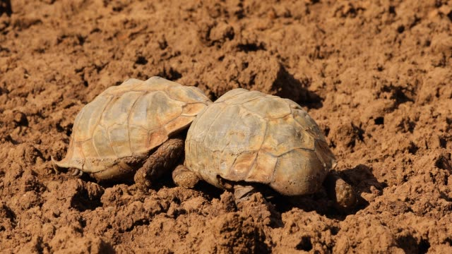 leopard tortoises fighting - gad filmów i materiałów b-roll