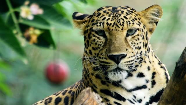 vidéos et rushes de léopard. - animaux à l'état sauvage