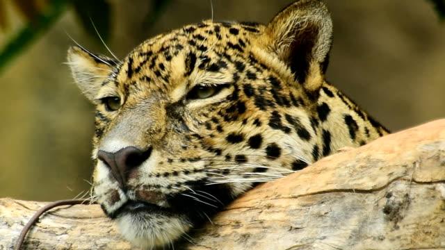 vídeos de stock, filmes e b-roll de com estampa de leopardo - felino