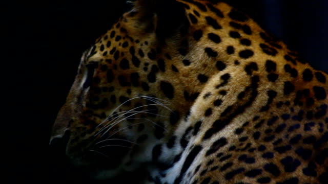 leopard - leopard bildbanksvideor och videomaterial från bakom kulisserna