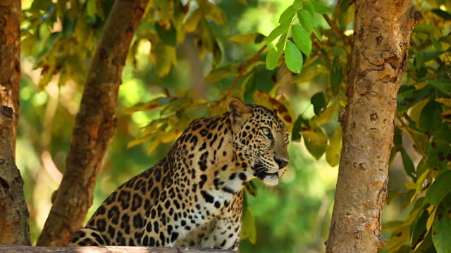 leopard. - leopard bildbanksvideor och videomaterial från bakom kulisserna