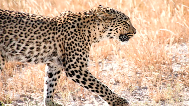 SLOW MO MS Leopard Walking In The Grass video