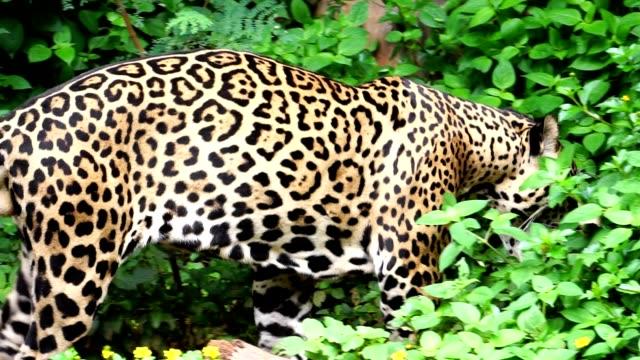 leopard promenader i skogen letar efter mat - leopard bildbanksvideor och videomaterial från bakom kulisserna