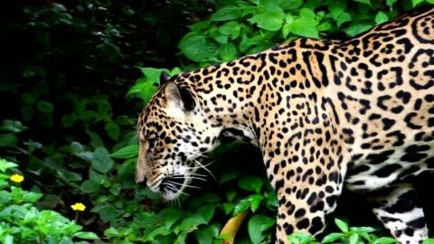 leopar ormanda yiyecek arayan yürüyüş - memeli stok videoları ve detay görüntü çekimi
