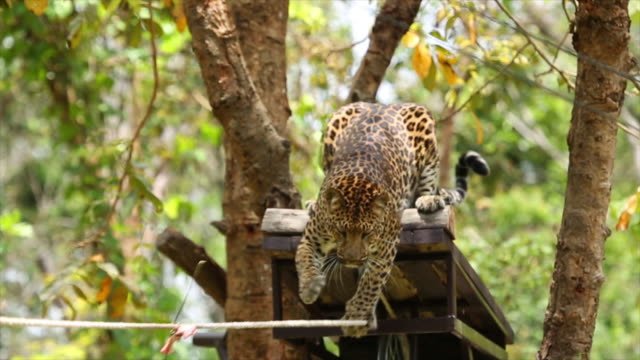 Leopards are graceful and powerful big cats. video