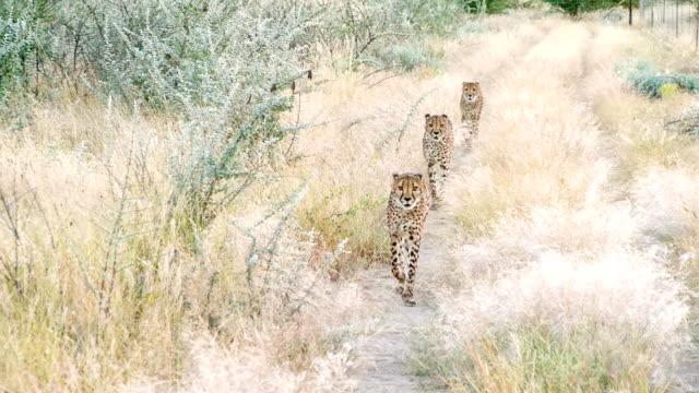 slo mo ls leopards running to the camera - leopard bildbanksvideor och videomaterial från bakom kulisserna