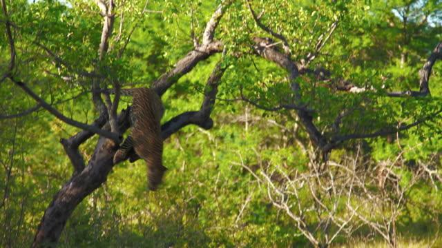 leopards - leopard bildbanksvideor och videomaterial från bakom kulisserna