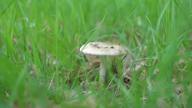 lepiota pilz im gras mit herbstlaub im wald. - sonnenschirm stock-videos und b-roll-filmmaterial