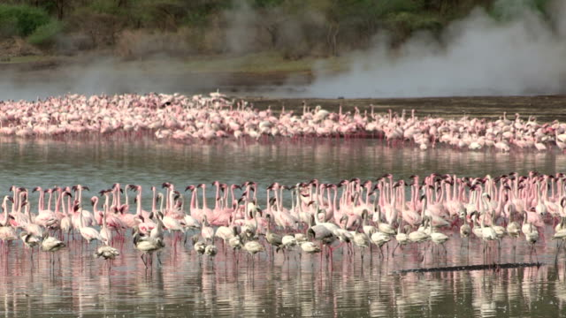 Lesser flamingo bathing and feeding near the hot water springs of Lake Bogoria video