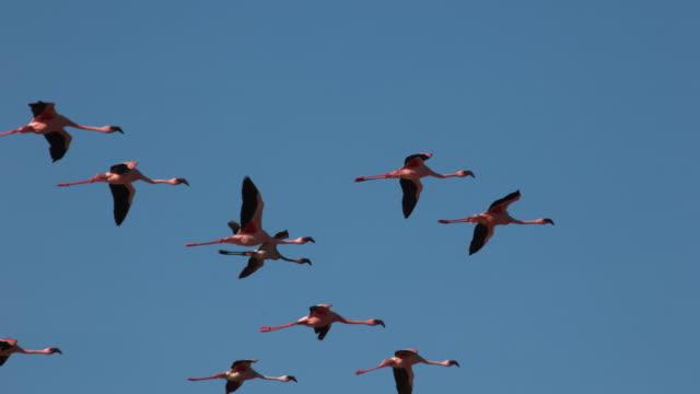 덜 플라밍고, phoenicopterus, 비행, 케냐, 슬로우 모션 4 k bogoria 호수에서 식민지 그룹 - 하늘을 나는 새 스톡 비디오 및 b-롤 화면