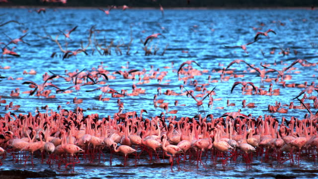 lesser flamingo, phoenicopterus minor, group in flight, taking off from water, colony at bogoria lake in kenya, slow motion 4k - battere le ali video stock e b–roll