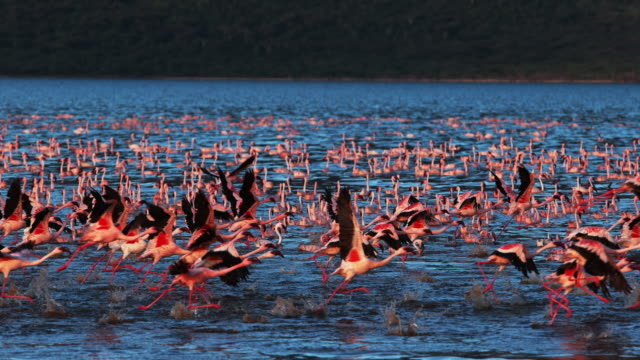 lesser flamingo, phoenicopterus minor, group in flight, taking off from water, colony at bogoria lake in kenya, slow motion 4k - птица стоковые видео и кадры b-roll