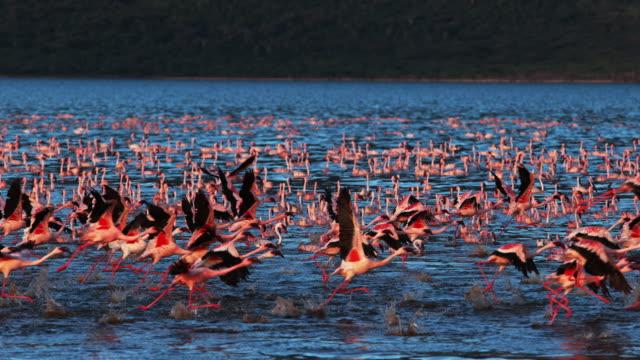 vídeos y material grabado en eventos de stock de grupo menor de flamencos, phoenicopterus minor, en vuelo, despegando del agua, colonia lago bogoria en kenia, lenta 4k - pájaro