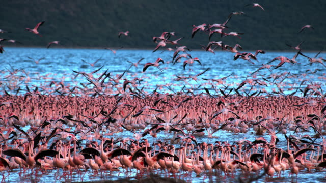 Lesser Flamingo, phoenicopterus minor, Group in Flight, Taking off from Water, Colony at Bogoria Lake in Kenya, Slow Motion 4K video