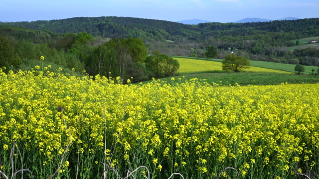 lesser poland broad farmland with yellow flowering rapeseed - капустные стоковые видео и кадры b-roll