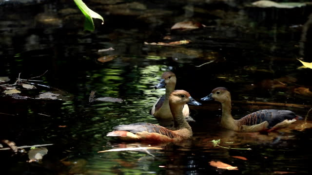 Menor Assobiando Pato acasalamento no lago - vídeo