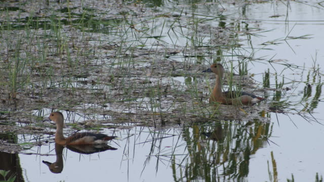 lesser whistling ducks resting close to the weed in the pond two lesser whistling ducks is resting close to the weed in the pond animal limb stock videos & royalty-free footage